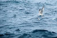 A sea gull fishing for spring spawning herrin, Moere coastline, Norway