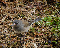 Dark-eyed Junco. Image taken with a Fuji X-T2 camera and 100-400 mm OIS lens (ISO 1250, 400 mm, f/5.6, 1/250 sec).