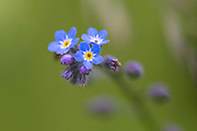 Small blue florets on perennial wildflower in garden in England