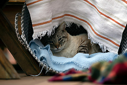 Cecil, an intact male stray Siamese cat, naps in a makeshift shelter set up behind an Oakland, Calif. home, Friday, April 17, 2020. (Photo by D. Ross Cameron)