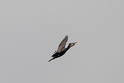 Reed Cormorant