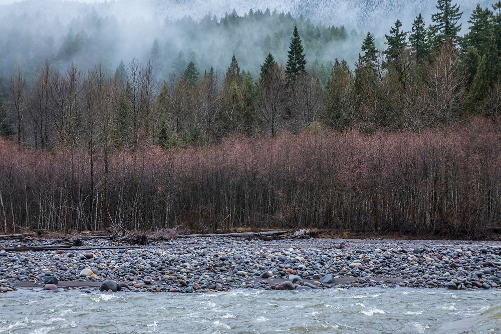Evergreen forest and Red Alders along the Nisqually river on the edge of Mount Rainier National Park, Washington State, USA.