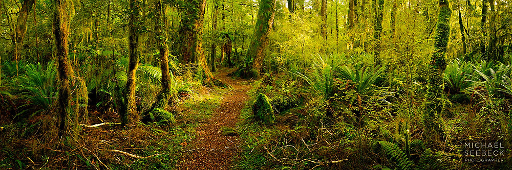 Morning sunlight permeates the undergrowth of mossy temperate rainforest in fiordland in New Zealand.<br /> <br /> Code: HZSH0002<br /> <br /> Limited Edition Print