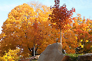 Young Maple trees in front of mature maples in full fall colors on an Iowa morning.
