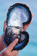 Pearl in Oyster on Manihi pearl farm.