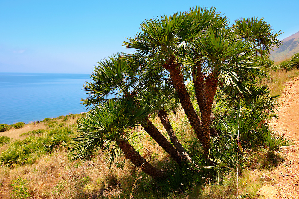 Dwarf palms [ Chamaerops humilis ] Riserva Naturale dello Zingaro [ Zingaro nature reserve ] Scopello, Castellammare Del Golfo , Sicily. also called European Fan Palm or Mediterranean Fan Palm .<br /> <br /> Visit our SICILY PHOTO COLLECTIONS for more   photos  to download or buy as prints https://funkystock.photoshelter.com/gallery-collection/2b-Pictures-Images-of-Sicily-Photos-of-Sicilian-Historic-Landmark-Sites/C0000qAkj8TXCzro<br /> If you prefer to buy from our ALAMY PHOTO LIBRARY  Collection visit : https://www.alamy.com/portfolio/paul-williams-funkystock/scopello-zingaro.html