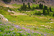 Lupine wildflowers blooming in a blanket in a meadow on the slopes of Naches Peak south of Chinook Pass in the William O Douglas Wilderness Wenatchee National Forest, Cascade Range of Washington state, USA