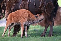 Nursing Bison Calf, Yellowstone National Park