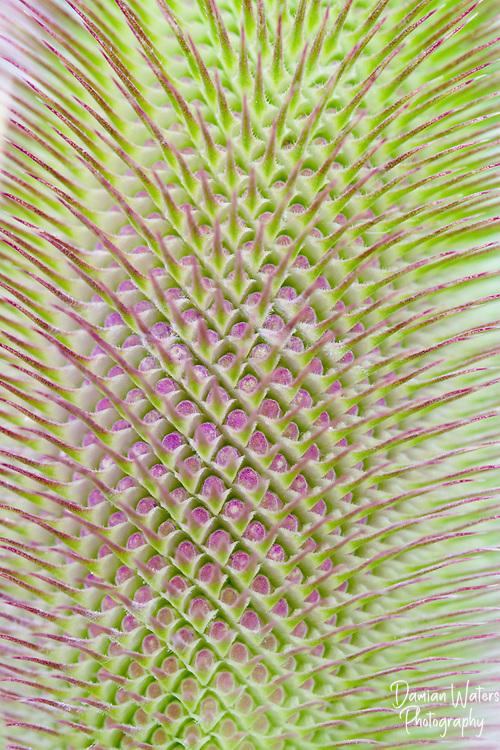 Wild Teasel, Dipsacus fullonum, flower head