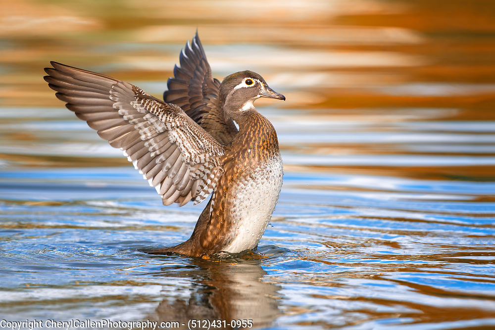 female Wood Duck flapping her wings surrounded by the colors of autumn