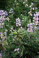 Lavender and white arboreal lupine flowers blooming on the bluffs of Big Sur