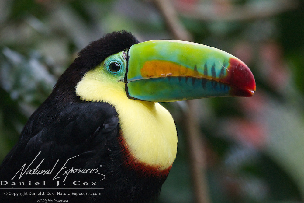 Keel-billed Toucan, Costa Rica. (Captive)