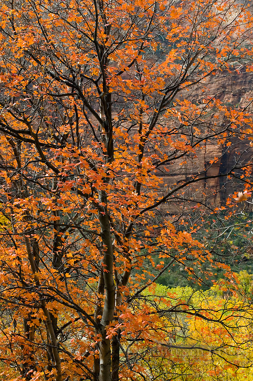 Detail of fall foliage on trees in Zion Canyon, Zion National Park, Utah