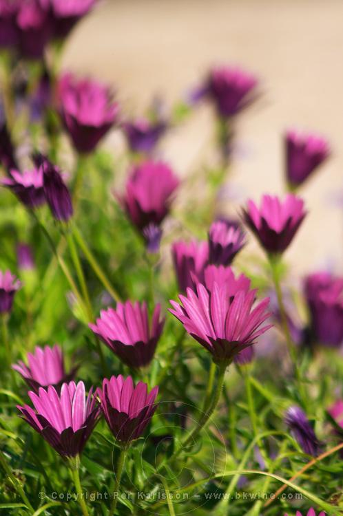 Violet flowers in the garden Clos des Iles Le Brusc Six Fours Cote d'Azur Var France