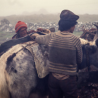 Yak carrying rocks for house construction in the Khumbu region, Nepal