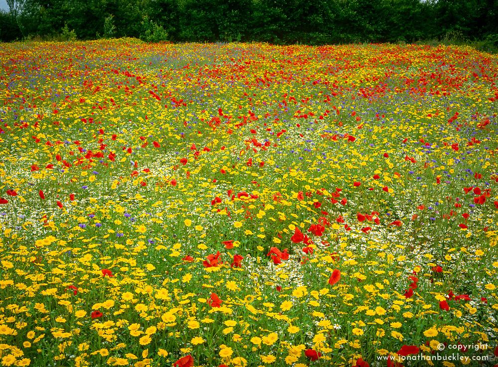 The cornfield at East Ruston Old Vicarage. Planting includes Centaurea cyanus ( cornflowers ), Chrysanthemum segetum ( corn marigolds ) and Papaver rhoeas ( field poppies )