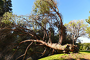 Fallen Pine Tree On The Grounds Of The Fullerton Arboretum