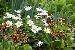 Primula 'Gold Lace Group' with Anemone blanda 'White Splendour'