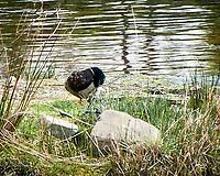 Mallard (Anas platyrhynchos). Balloch, Scotland.  Image taken with a Nikon N1V2 camera and 10-100 mm VR lens.