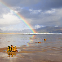 Ancient 4000 years old oak and pine ree stumps at Reenroe Beach near Ballinskelligs with colourful Rainbow and stormy Sky, County Kerry, Ireland / rb022