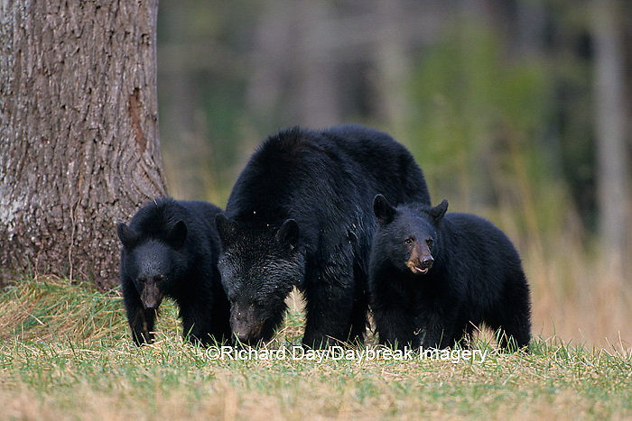01872-00612  Black Bear (Ursus americanus) female with cubs (2) Great Smoky Mountains NP  TN