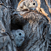 This is a male and female pair of Japanese dwarf flying squirrels (Pteromys volans orii), with one inside the nest and the other above. This female (inside the nest) is in oestrus. The male is standing guard. Another male approached repeatedly, resulting in heated confrontation, with the males chasing one another, occasionally leaping and gliding among trees.