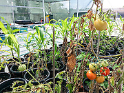 tomatoes are grown on a rooftop garden at the Haifa university, Israel as part of an ecological experiment