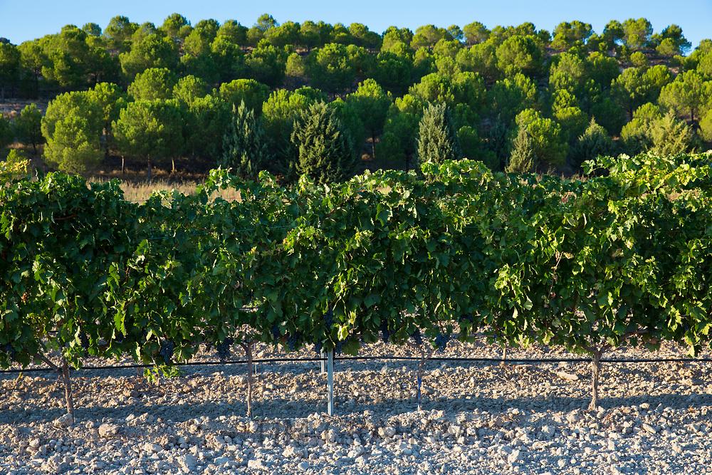 Vineyard in ribera del Duero wine production area, Valladolid,  Spain