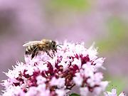 Honey Bee (Apis mellifera) nectaring on Wild Thyme (Thymus serphyllum) flower, Kent UK
