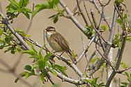 Sedge Warbler - Acrocephalus schoenobaenus - adult male