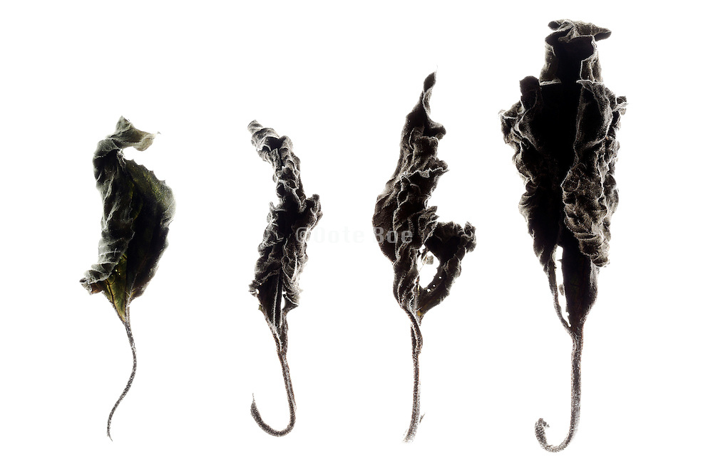 various curled and dried leaves