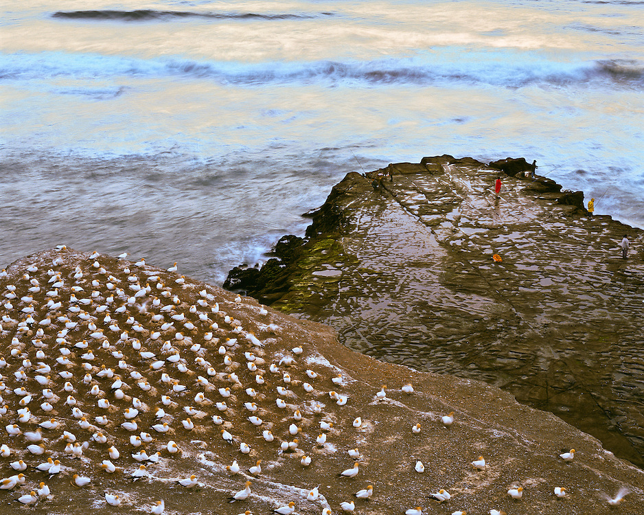 Fishermen risk huge waves fishing from rocky outcroppings at Muriwai Beach with nesting gannet sea birds hatching their young on rocks above the Tasman Sea on the North Island of New Zealand