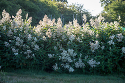 Persicaria polymorpha syn. Persicaria alpina, Polygonum alpinum AGM - Alpine knotweed