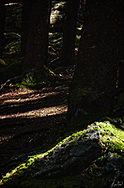 Deep in the woods, up on Roan Mountain, with sun beams penetrating horizontal stretches of the forest floor.