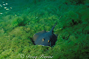Atlantic stingray, Dasyatis sabina, is able to complete entire life cycle in either fresh or salt water, St. John's River; Central Florida ( freshwater )