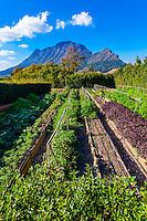 Garden, Delaire Graff Wine Estate atop Helshoogte Pass, near Stellenbosch, Cape Winelands (near Cape Town), South Africa.