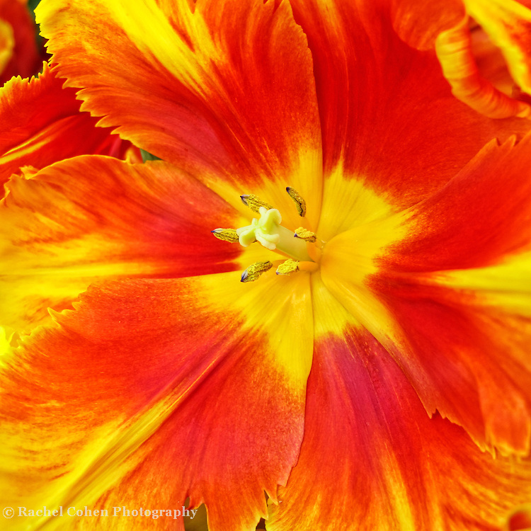 """""""Copa Cabana""""<br /> <br /> Ohh La La!! Bright, vibrant, bold and beautiful! This tulip speaks volumes!!<br /> <br /> Flowers by Rachel Cohen"""
