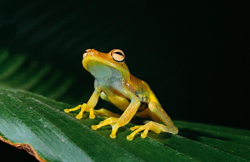Rough-skinned green treefrog (Hyla granosa) showing un-laid eggs<br /> Amazon Rain Forest<br /> ECUADOR  South America