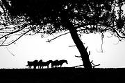 Exmoor ponies grazing on Godlingston Heath. Dorset, UK.
