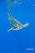 female scalloped hammerhead shark, Sphyrna lewini, Keauhou, Kona Coast, Hawaii Island ( the Big Island ), Hawaiian Islands, U.S.A. ( Central Pacific Ocean )
