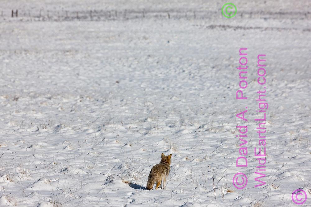 Coyote pauses, listening and looking across fresh light spring snow in the  grassland of the Valle Grande, Valles Caldera National Preserve, Jemez Mountains, New Mexico