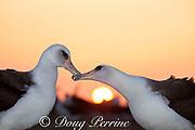 Laysan albatross, Phoebastria immutabilis, billing during courtship dance at sunrise, Sand Island, Midway Atoll, Midway National Wildlife Refuge, Papahanaumokuakea National Monument, Northwest Hawaiian Islands ( North Pacific Ocean )