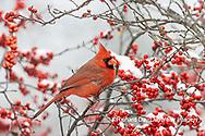 01530-23309 Northern Cardinal (Cardinalis cardinalis )male in Winterberry bush (Ilex verticillata) in winter Marion Co. IL