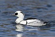 Smew - Mergus albellus - male