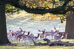 © Licensed to London News Pictures. 30/10/2017. Ripon UK. Deer at Studley Royal park on the Fountains Abbey estate near Ripon at sunrise this morning. Photo credit: Andrew McCaren/LNP
