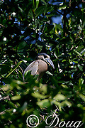boatbill or boat-billed heron, Cochlearius cochlearius, in red mangrove tree, Rhizophora mangle, Cabbage Hole Creek, Stann Creek District, Belize, Central America