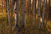 A stand of aspens in the Sawtooth National Forest