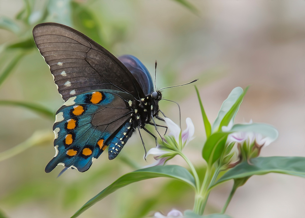The spicebush swallowtail butterfly is a large, dark swallowtail. It is one of our most beautiful and interesting swallowtails. All developmental stages are great examples of adaptive coloration. The wingspread range is 4.1 to 5.6 cm. The upper surface of the fore wings is black with a narrow marginal row and a broader submarginal row of light yellow row spots. The upper surfaces of the hind wings also have the rows of spots, but they are light green in color. The median areas of the hind wings are dusted with blue in females and blue-green to green in males.