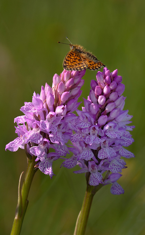 Butterfly on top of two common spotted Orchid. Auvergne