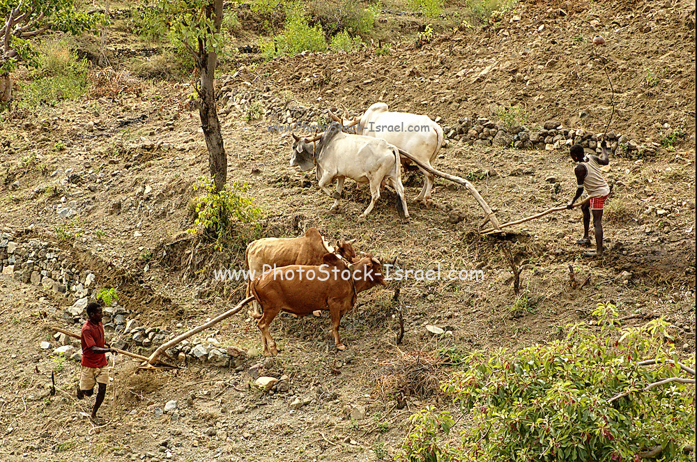 Africa, Ethiopia, Konso ploughing the field with oxen
